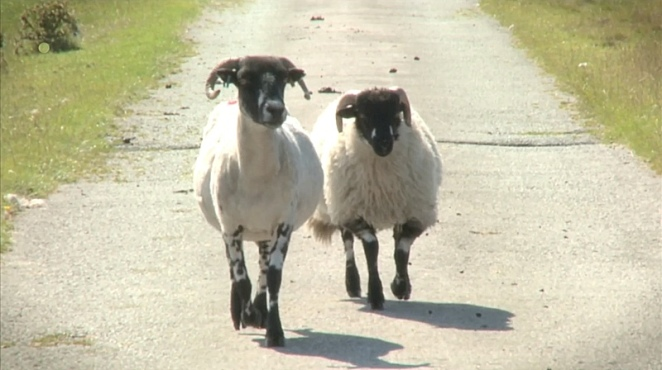 Two sheep walking down a road