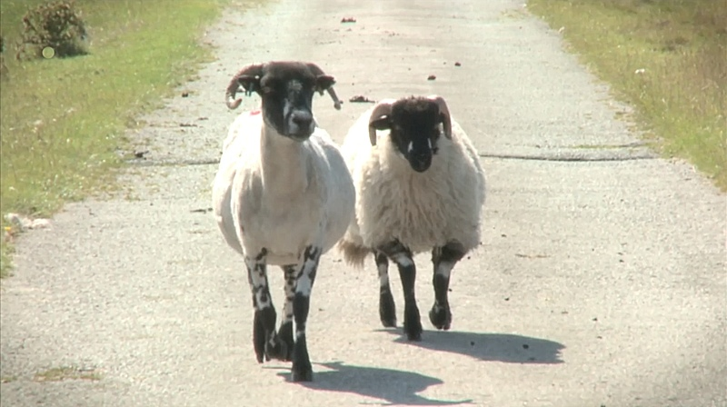 Two sheep walking down a road