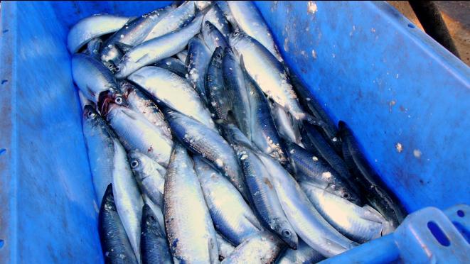 Fish landed at Aldeburgh Beach.