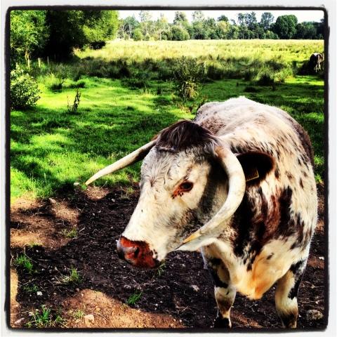 cow-5015